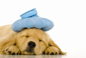 Sick Golden Retriever puppy with blue ice pack